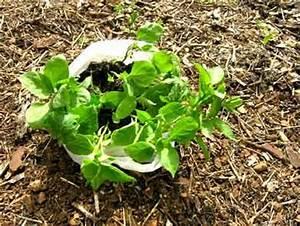 Paprika Gute Nachbarn : m rz an der algarve pflanzeit im gem sebeet ~ Frokenaadalensverden.com Haus und Dekorationen