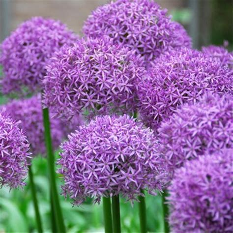 allium bulbs 10 allium aflatunense purple sensation flower bulbs internet gardener