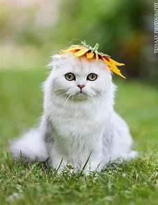 Cute Scottish Fold Cat | Awww | Pinterest