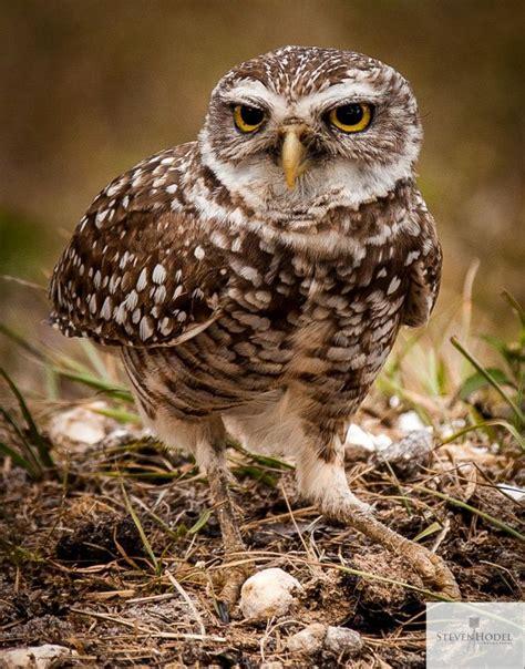 burrowing owl in florida florida pinterest