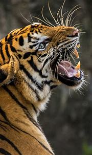 Tiger 4K Wallpapers   HD Wallpapers   ID #23925
