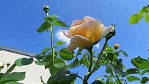 Rosenrost Was Tun : hausmittel bei rosenrost so bringen sie ihre rosen ~ Lizthompson.info Haus und Dekorationen