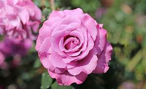 Fifteen Of The Best Roses For Perth Gardens