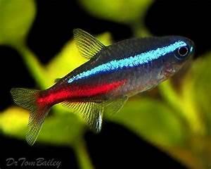Aquarium Fish Tetra 1000 Aquarium Ideas