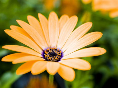 wallpaper gerbera yellow daisy flowers