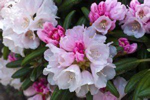 Rhododendron Blüht Nicht : tipps zur pflege des rhododendron ~ Frokenaadalensverden.com Haus und Dekorationen
