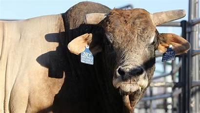 Bruiser Bull Pbr Sweetpro Still Getting Colo