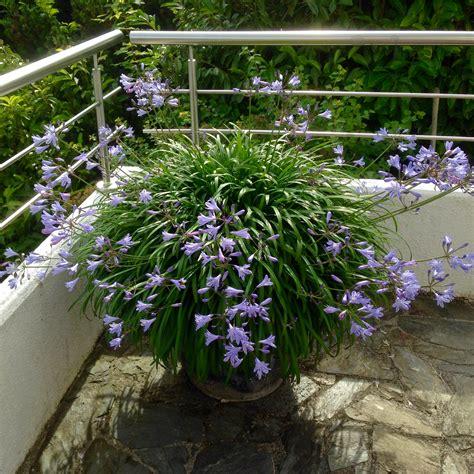 Japanische Gartenorchidee by Indisches Blumenrohr Schmucklilie Japanische Orchidee