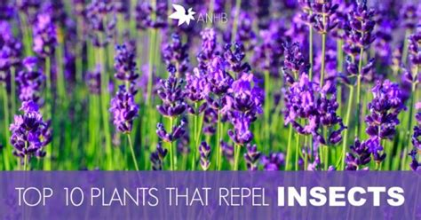 plants that repel flies naturally top 10 plants that repel unwanted insects all natural home and beauty