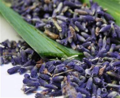planting lavender seeds flower seeds