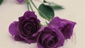 Purple Rose Wallpapers Images Photos Pictures Backgrounds