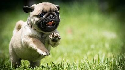 Pug Dog Puppy Wallpapers Backgrounds Wallpaperaccess