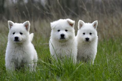 Dogs That Dont Shed by Berger Blanc Suisse Puppies