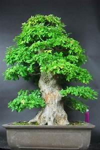 Bonsai Kaufen Berlin : bonsai dreispitzahorn japan in berlin pflanzen kaufen und verkaufen ber private kleinanzeigen ~ Orissabook.com Haus und Dekorationen