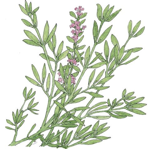 Rosemary Herb Diagram by Thyme Seeds Organic Thyme Seeds Non Gmo Thyme Seeds