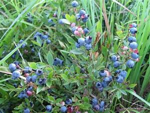 Foraging Wild Fruit: Common Lowbush Blueberry   Josh Fecteau