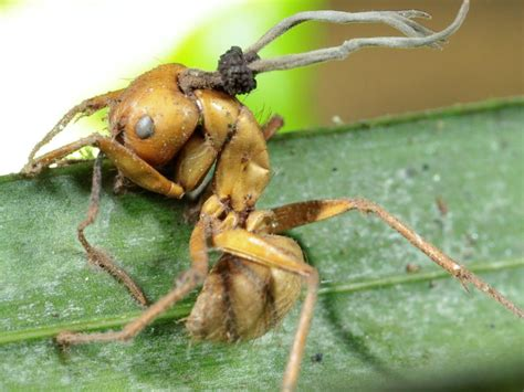 zombie fungi fungus ants ant found control nationalgeographic nature