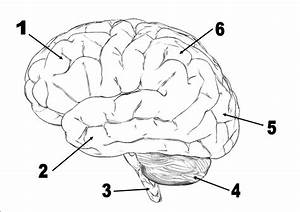 Neuroscience Quizzes  Trivia  Questions  U0026 Answers