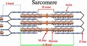 Gross Muscle And Sarcomere