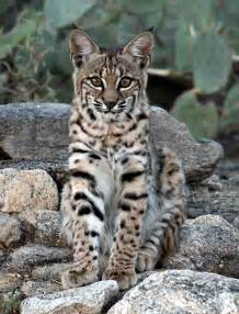 What Animal Does a Bobcat Look Like