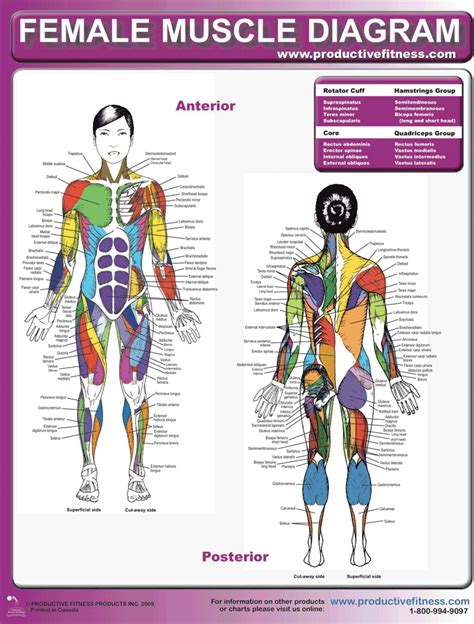Leg muscles are another story. 3+ Muscle Chart Free Download