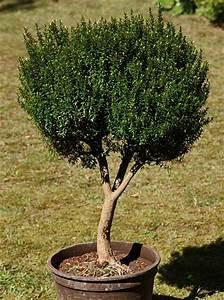Fuchsien Stecklinge Kaufen : myrten verkauf sehr alte myrtenb umchen myrten bonsai ~ Michelbontemps.com Haus und Dekorationen