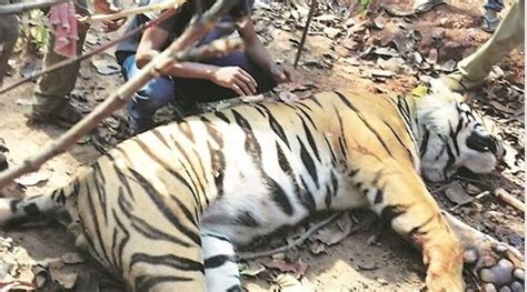 West Bengal Tiger Dead Officials Suspect Was Hunted
