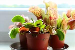 Fleischfressende Pflanze Pflege : fleischfressende zimmerpflanzen 6 fliegenfresser f r ~ A.2002-acura-tl-radio.info Haus und Dekorationen