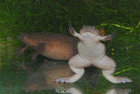 Western clawed frog - Wikipedia