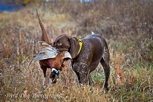 Adventures of a GSP Hunting Dog: Hunting Dog Photography ...
