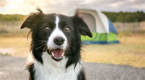 Do Collies Shed A Lot by Do Border Collies Shed Excessively Get The Facts Stop