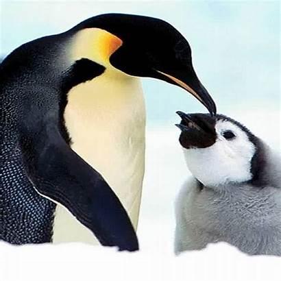 Animals Penguin Ipad Cute Backgrounds Background Desktop