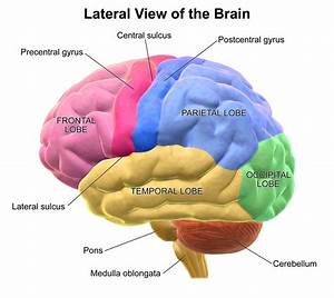 Where Is The Occipital Lobe In Relation To The Frontal