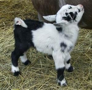 Cute pygmy goat   Pygmy goats   Pinterest