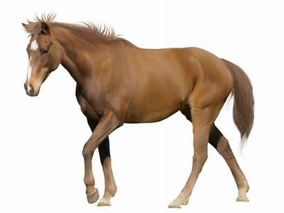Gambar Kuda Lengkap Dan Cantik Barang