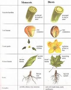 Do A Backyard Classification Lesson Using This Monocots Vs Dicots Chart