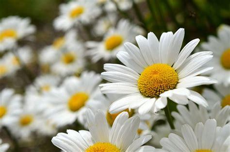 daisies flowers leucanthemum  photo  pixabay