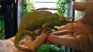 Setting Up A Jacksons Chameleon Cage