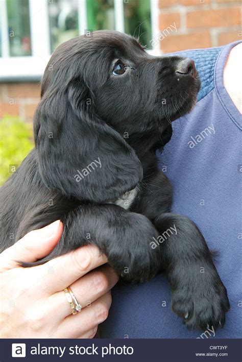 week  working cocker spaniel puppy dog stock photo