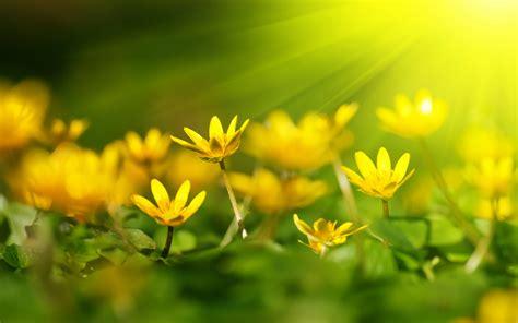 Sunshine Wallpaper Yellow Flowers Hd Desktop Wallpapers