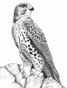 Drawn hawk pen and ink - Pencil and in color drawn hawk ...