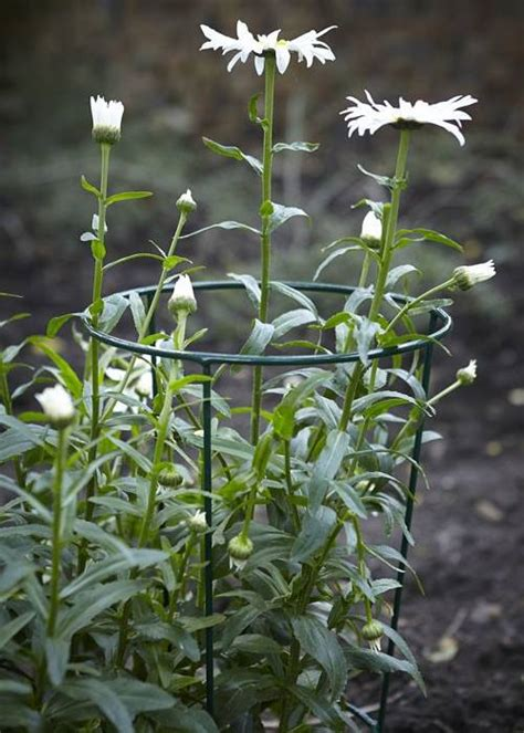 plant support conical supports enough ample sunlight sweet plants shrub vine through grow cages blocked rain flowers steel sturdy