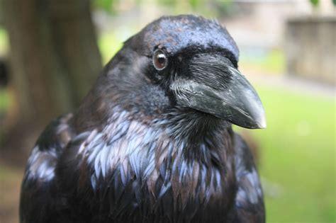 Raven Wikipedia