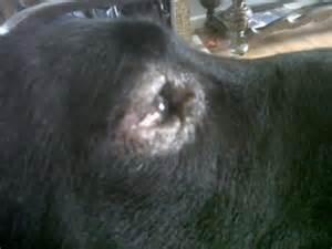 sty cat skin eye swelling