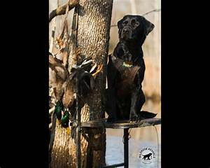 Wildrose Kennels - Free Montly Retriever Wallpaper