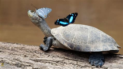 turtle   partner butterfly national geographic photo
