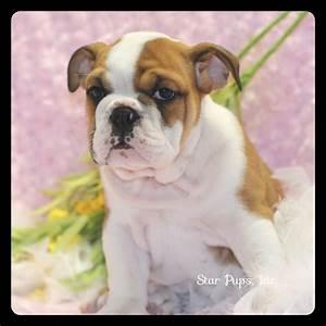 English Bulldog F Fawn/White – Sold   Star Pups