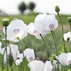 Keimzeit Saatgut De : mohn 39 white delight 39 ~ Lizthompson.info Haus und Dekorationen