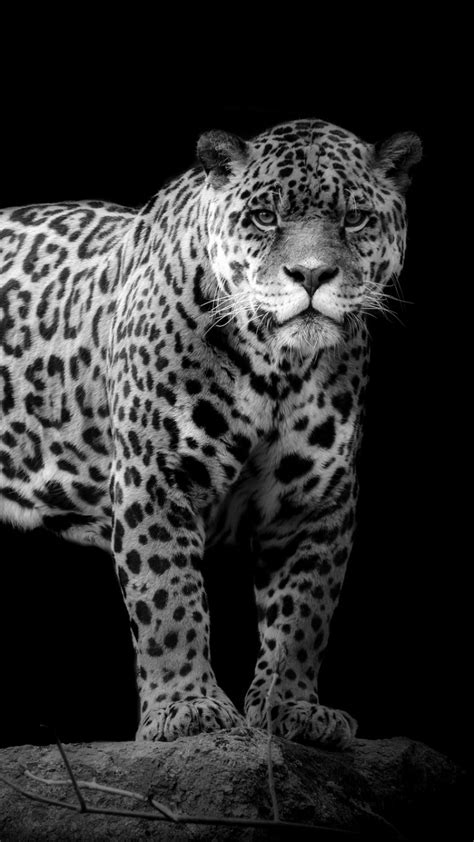 Black Jaguar Animal Hd Wallpapers - black jaguar animal hd wallpapers 32 wallpaper