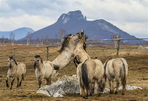 rewilding european horses prairie europe arrival picking stallions waste upon didn fight any